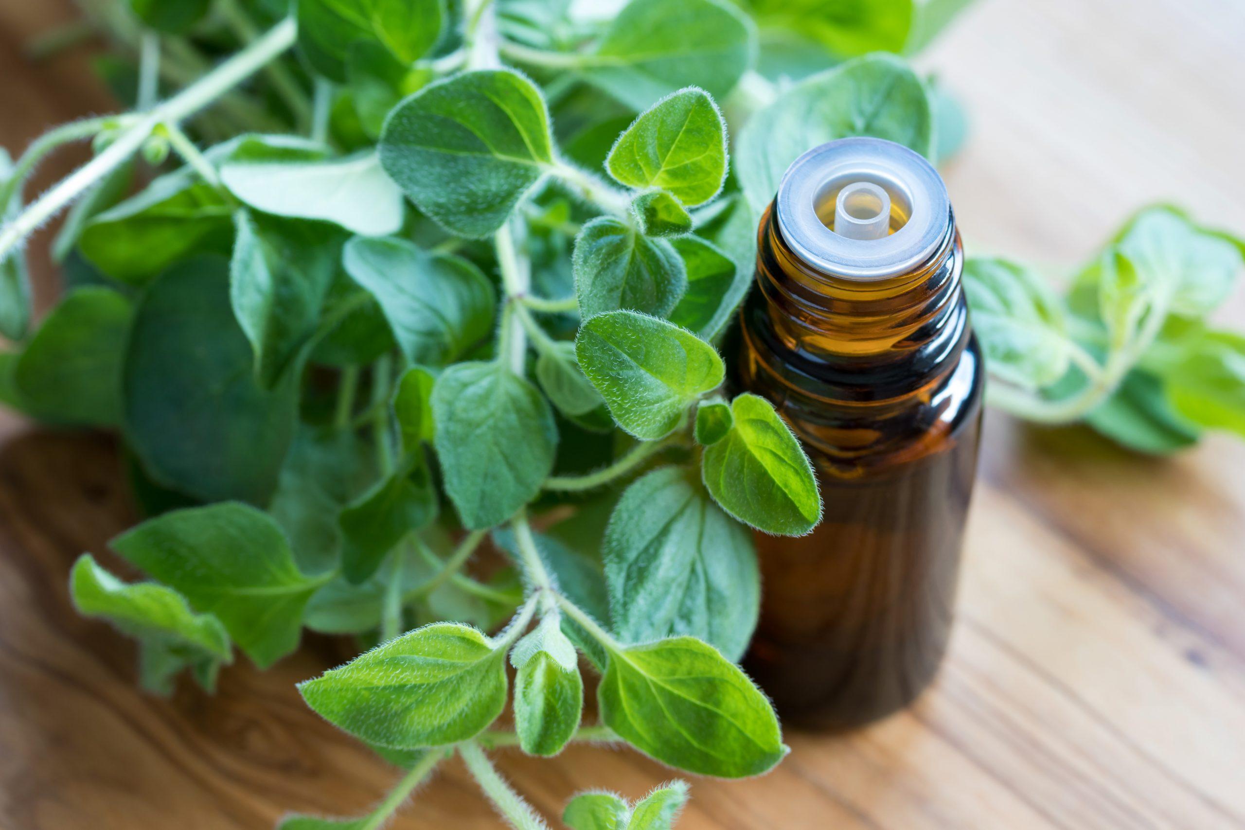 Olejek z oregano na przeziębienie i grypę – naprawdę pomaga?
