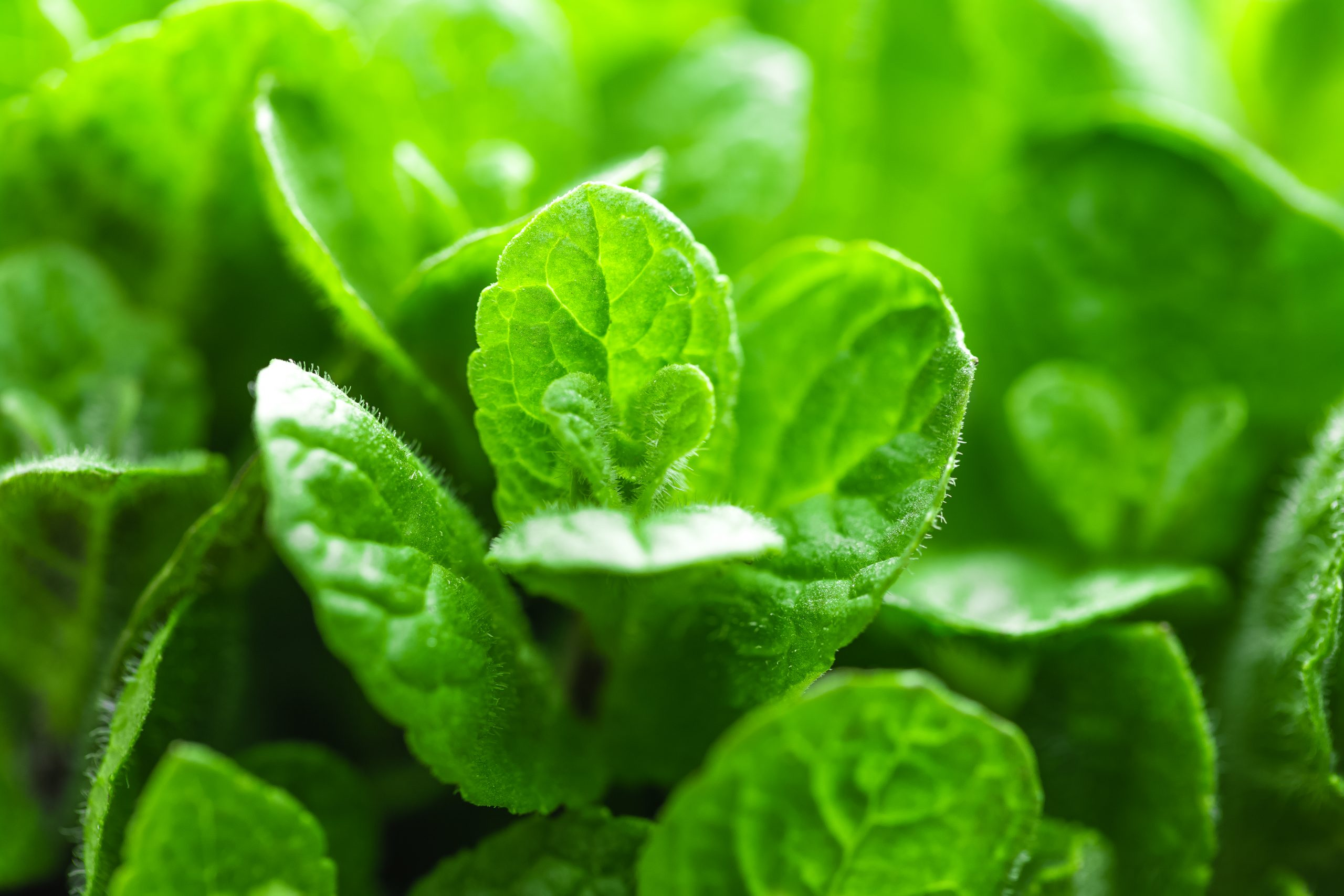 świeże liście mięty - materiał na olejek miętowy